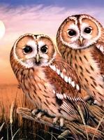 PJS87 PBN Junior Small TAWNY OWLS